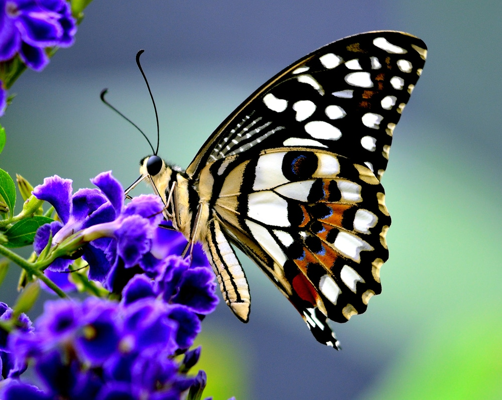 A butterfly feeding on some tasty nectar