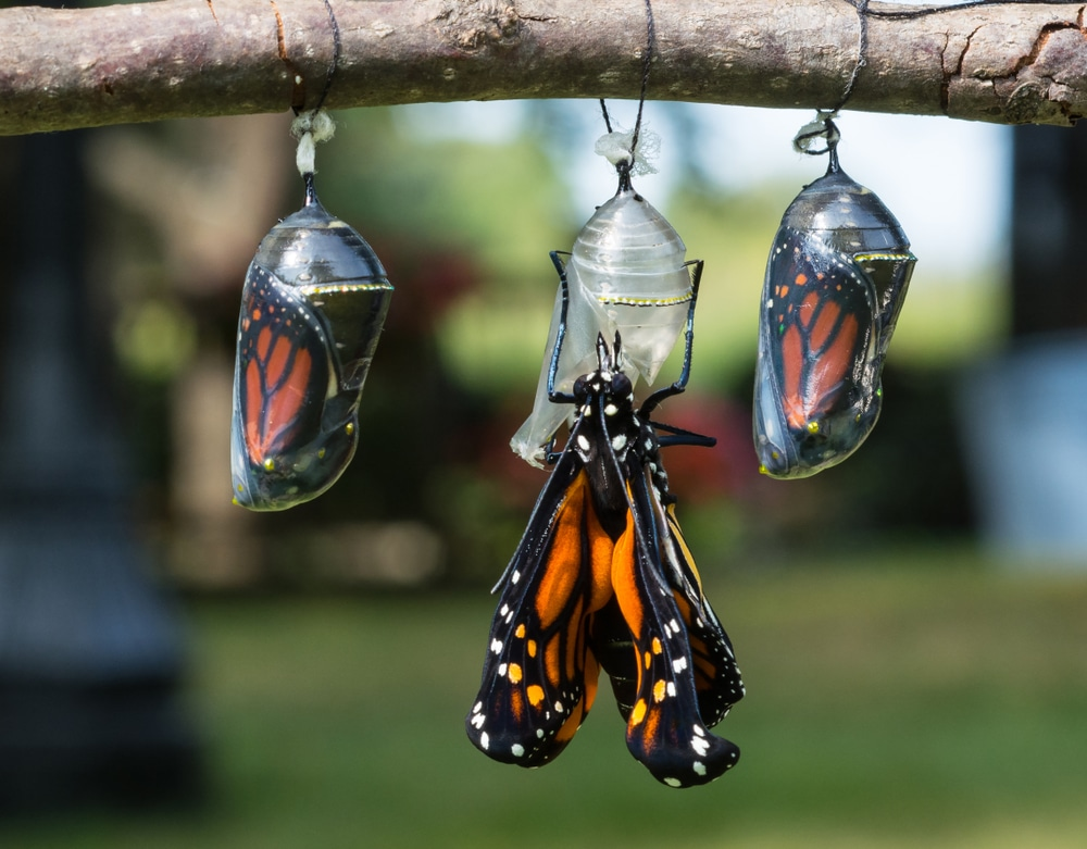 A butterfly hatching