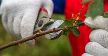gardener with gloves pruning a small tree