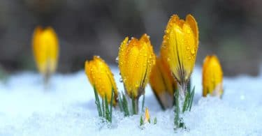 yellow crocuses grow from under snow