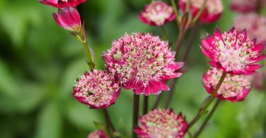 Pink astrantia major with green foliage in background