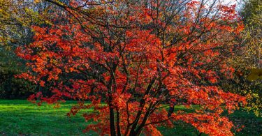 a Red Japanese maple