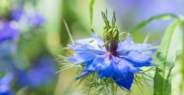 close up of blue love-in-the-mist flower